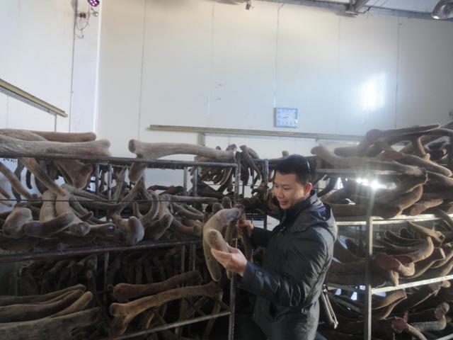 Nhung hươu nguyên chiếc sấy khô Alatai sibiri