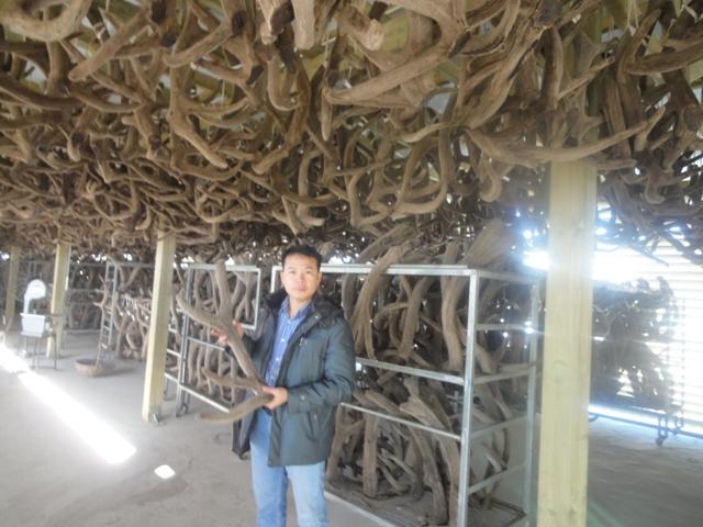 Nhung hươu sấy khô nguyên chiếc siberia
