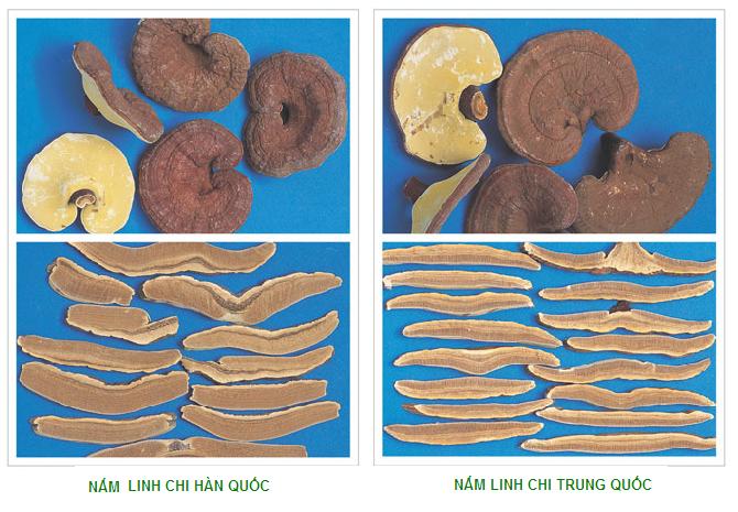 phân biệt nấm linh chi Hàn Quốc và nấm linh chi Trung Quốc